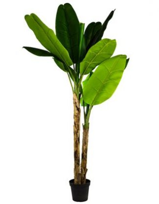 This artificial banana tree is so realistic to see and touch! Beautiful, waxy, luscious, green leaves are adjustable. Wonderful! 210cm tall.